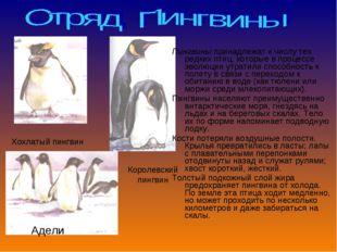 Пингвины принадлежат к числу тех редких птиц, которые в процессе эволюции утр