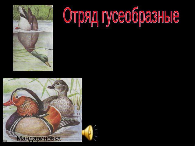 Тело гусеобразных равномерно покрыто густым пером и пухом. Толщина перьевого...