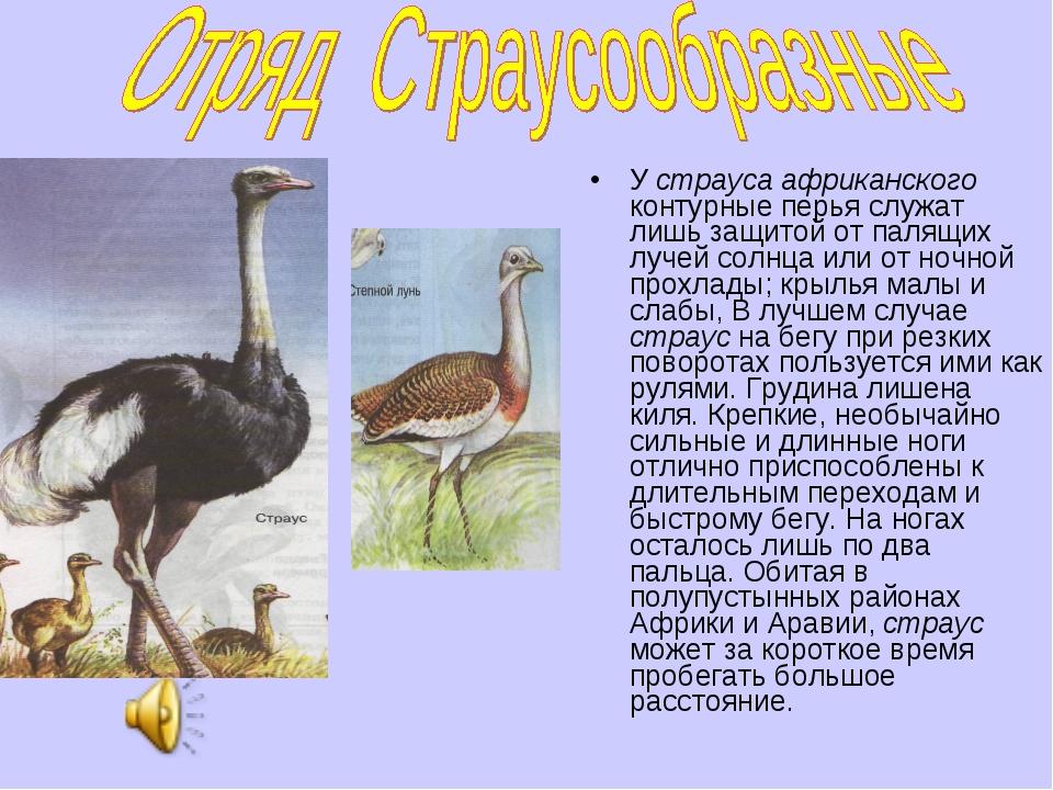 У страуса африканского контурные перья служат лишь защитой от палящих лучей с...