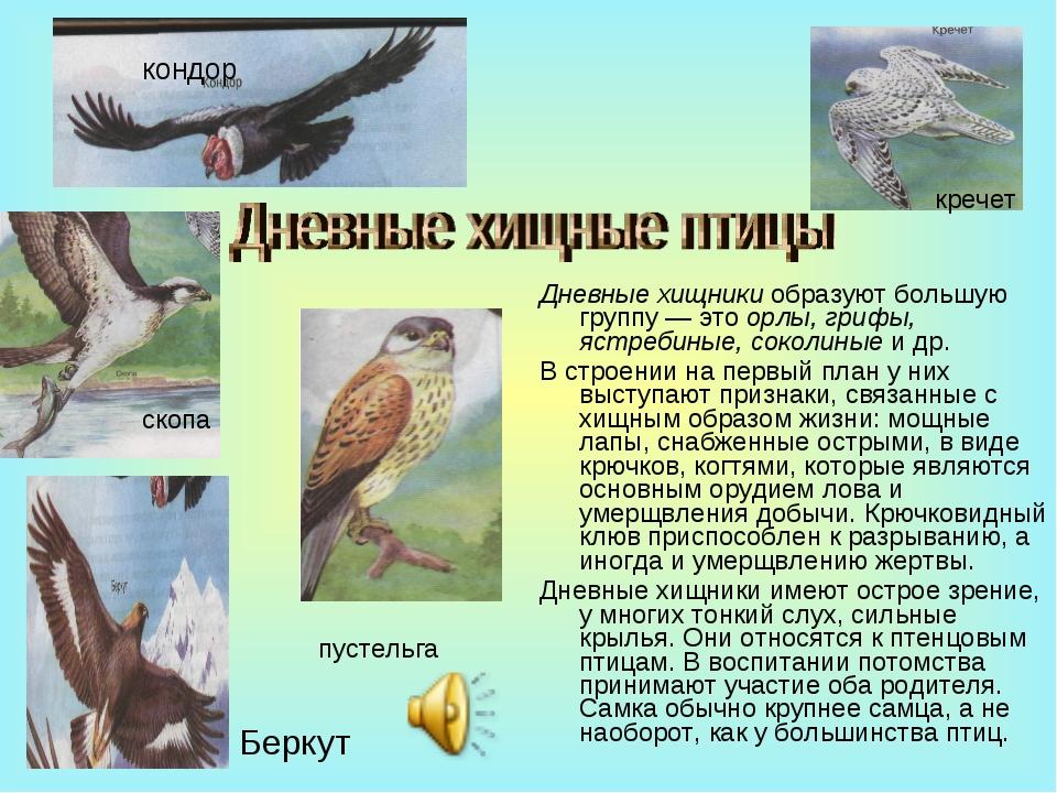 Дневные хищники образуют большую группу — это орлы, грифы, ястребиные, соколи...