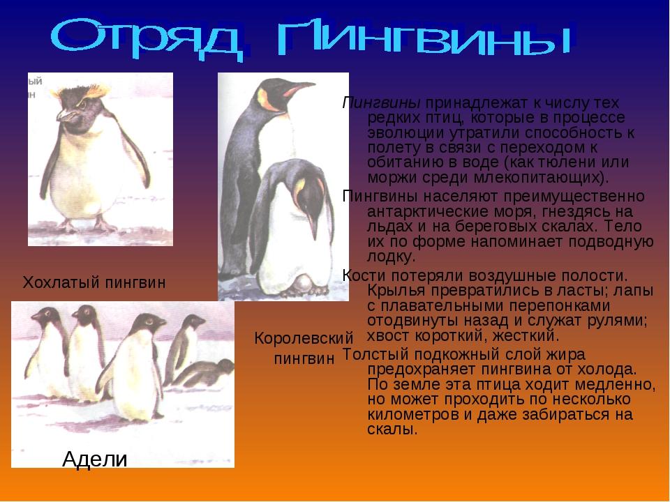 Пингвины принадлежат к числу тех редких птиц, которые в процессе эволюции утр...