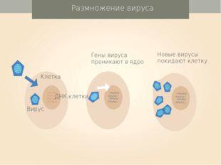 Размножение вируса ДНК клетки Вирус Клетка Гены вируса проникают в ядро Новы