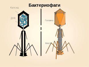 Головка Хвост Бактериофаги ДНК Капсид