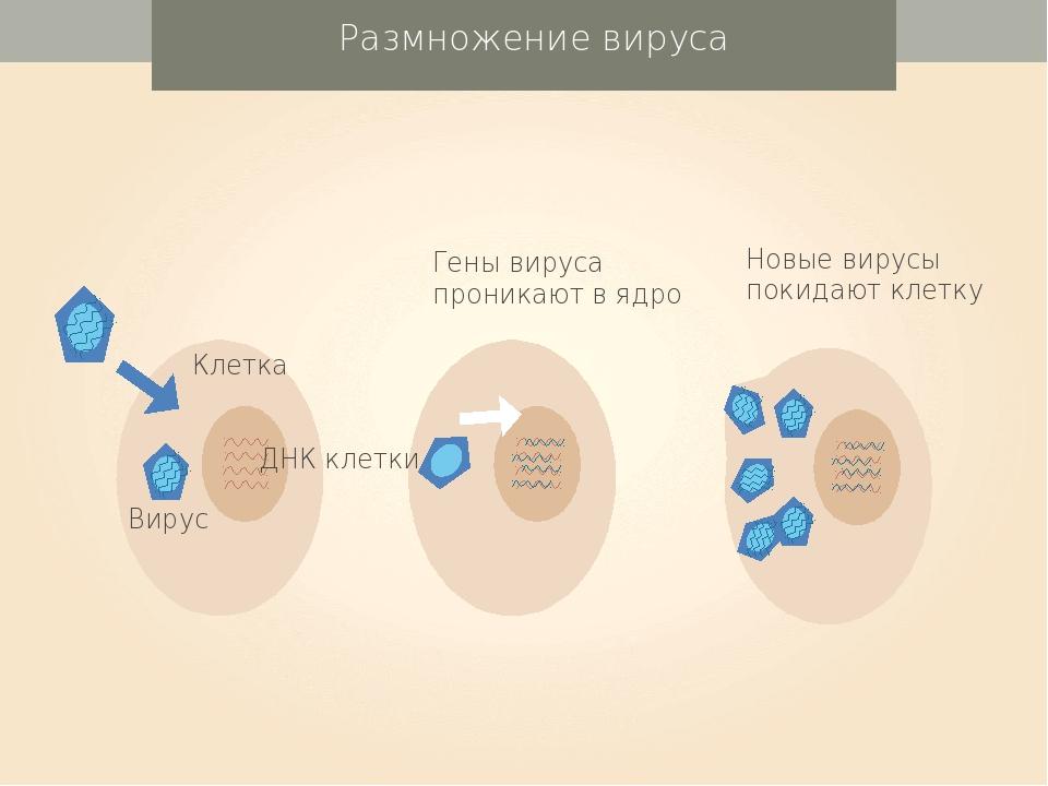 Размножение вируса ДНК клетки Вирус Клетка Гены вируса проникают в ядро Новы...