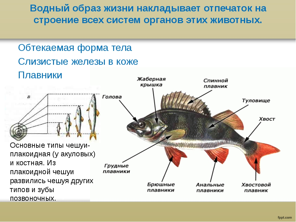 Водный образ жизни накладывает отпечаток на строение всех систем органов этих...