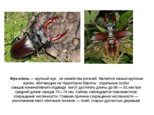 Жук-олень— крупный жук из семейства рогачей. Является самым крупным жуком