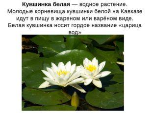 Кувшинка белая—водное растение. Молодые корневища кувшинки белой на Кавказе