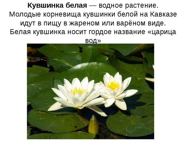 Кувшинка белая—водное растение. Молодые корневища кувшинки белой на Кавказе...