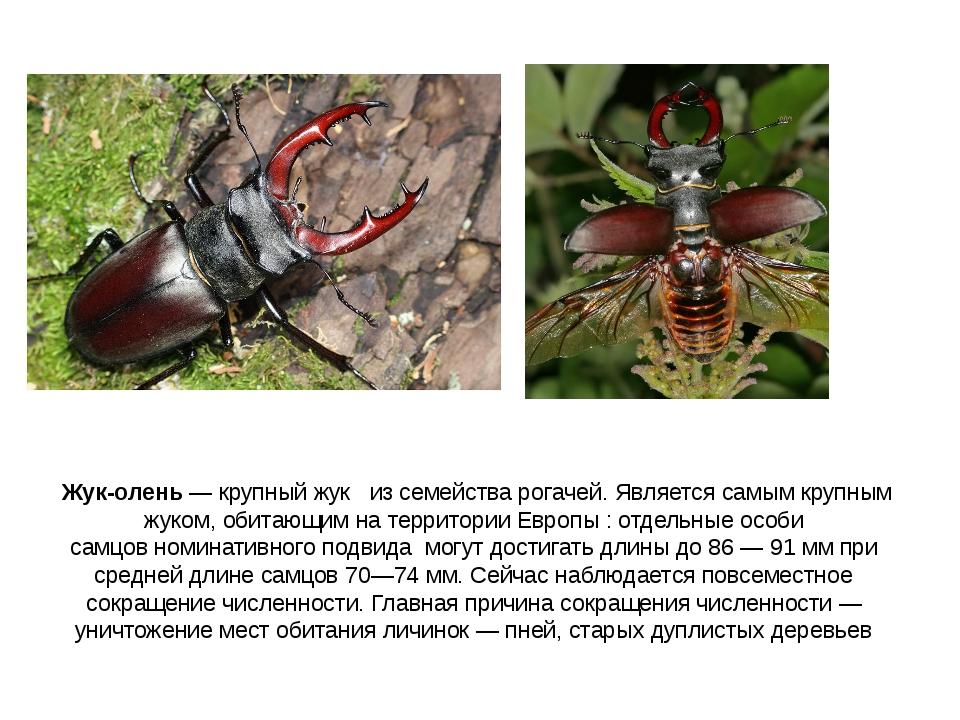 Жук-олень— крупный жук из семейства рогачей. Является самым крупным жуком...