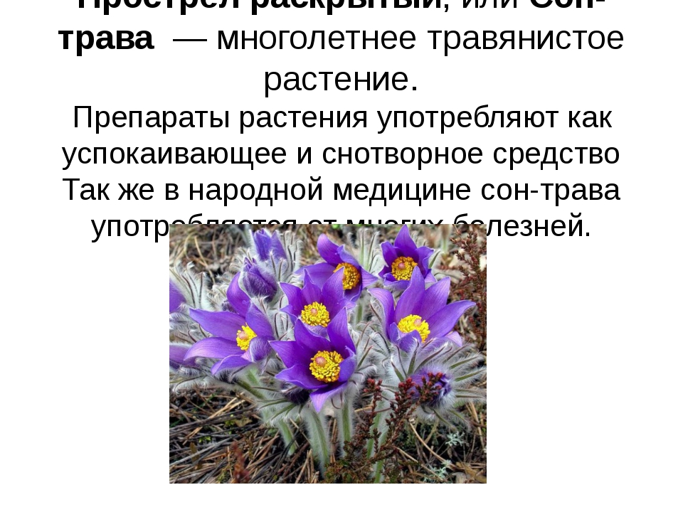 Прострел раскрытый, илиСон-трава—многолетнеетравянистое растение. Препар...