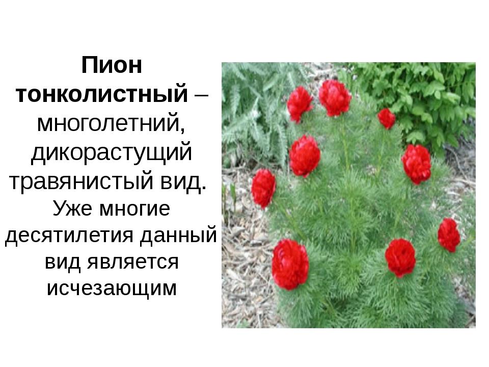 Пион тонколистный– многолетний, дикорастущий травянистый вид. Уже многие де...