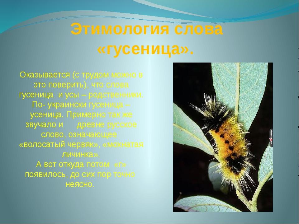 Этимология слова «гусеница». Оказывается (с трудом можно в это поверить), чт...