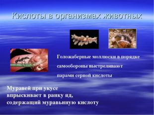 Кислоты в организмах животных Муравей при укусе впрыскивает в ранку яд, содер