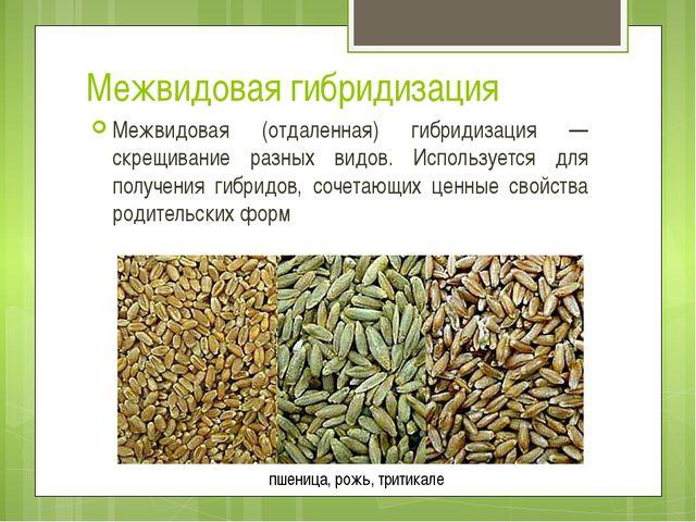 Тетраплоидная диплоидная кукуруза