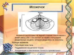 Мозжечок Мозжечок расположен на задней стороне ствола мозга и имеет массу 150