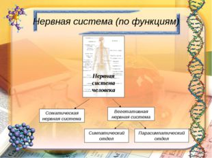 Нервная система (по функциям) Нервная система человека Соматическая нервная с
