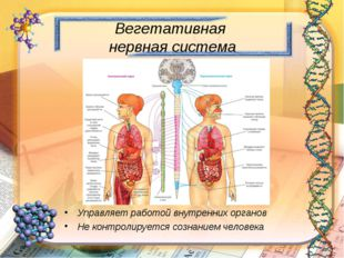 Вегетативная нервная система Управляет работой внутренних органов Не контроли