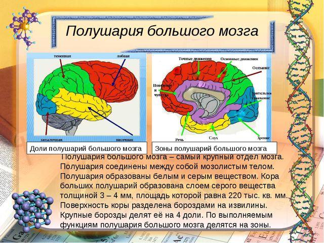 Полушария большого мозга Полушария большого мозга – самый крупный отдел мозга...