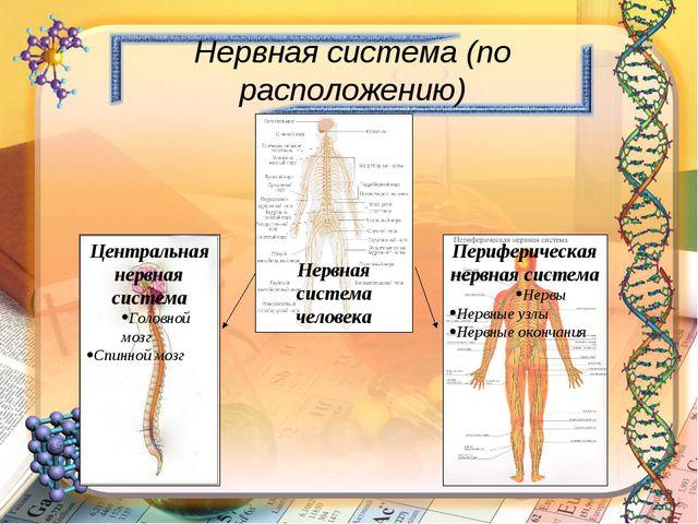 Нервная система человека Центральная нервная система Головной мозг Спинной м...
