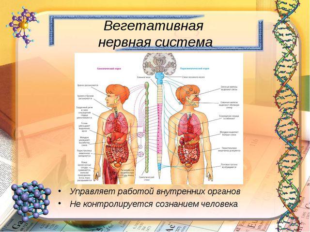 Вегетативная нервная система Управляет работой внутренних органов Не контроли...