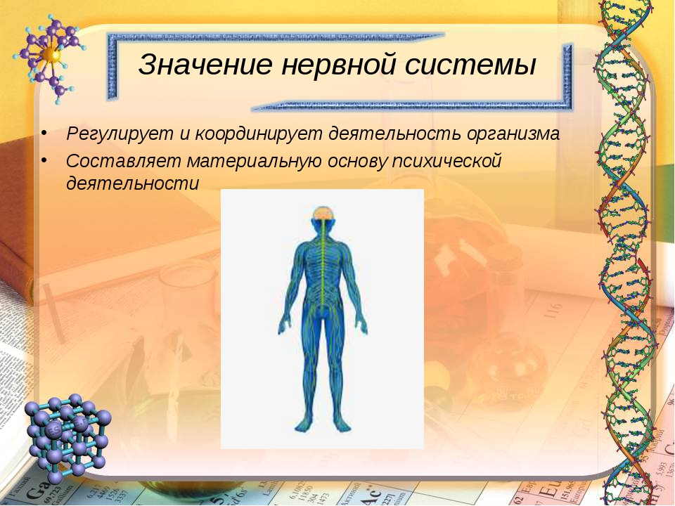 Значение нервной системы Регулирует и координирует деятельность организма Сос...