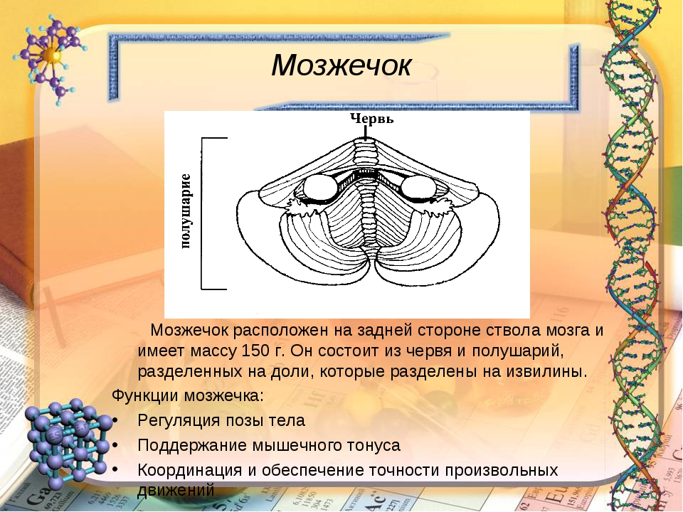 Мозжечок Мозжечок расположен на задней стороне ствола мозга и имеет массу 150...