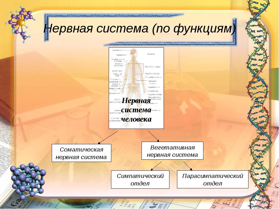 Нервная система (по функциям) Нервная система человека Соматическая нервная с...
