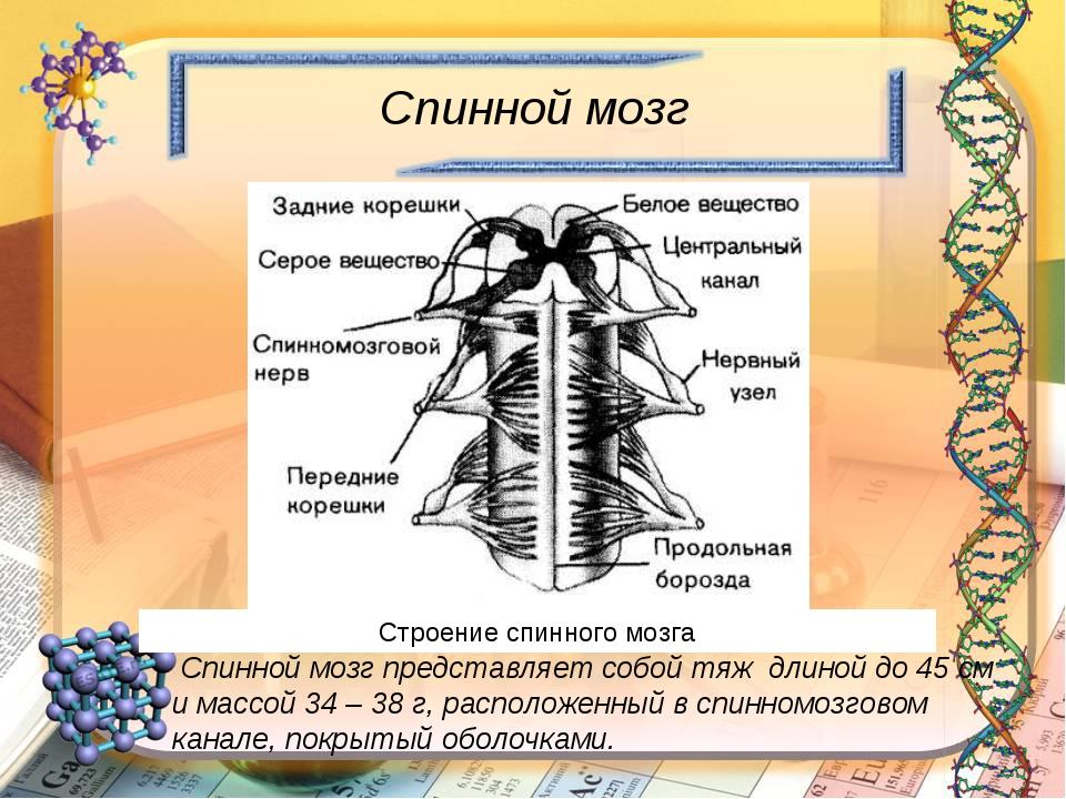 Спинной мозг Спинной мозг представляет собой тяж длиной до 45 см и массой 34...