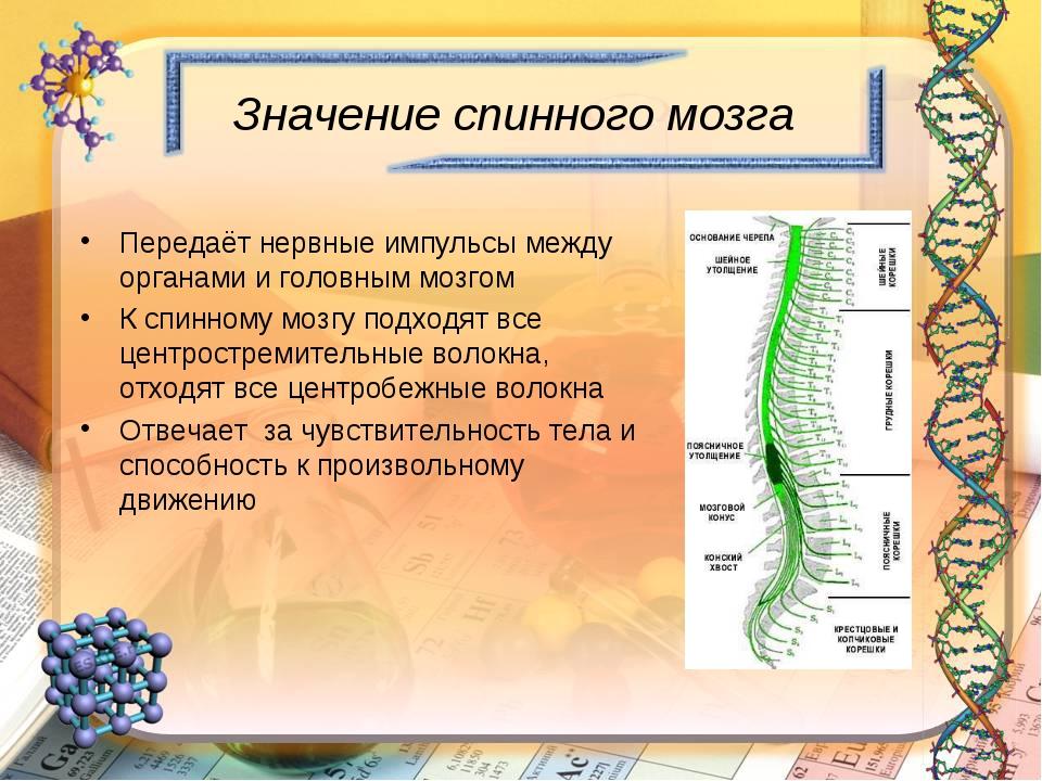 Значение спинного мозга Передаёт нервные импульсы между органами и головным м...