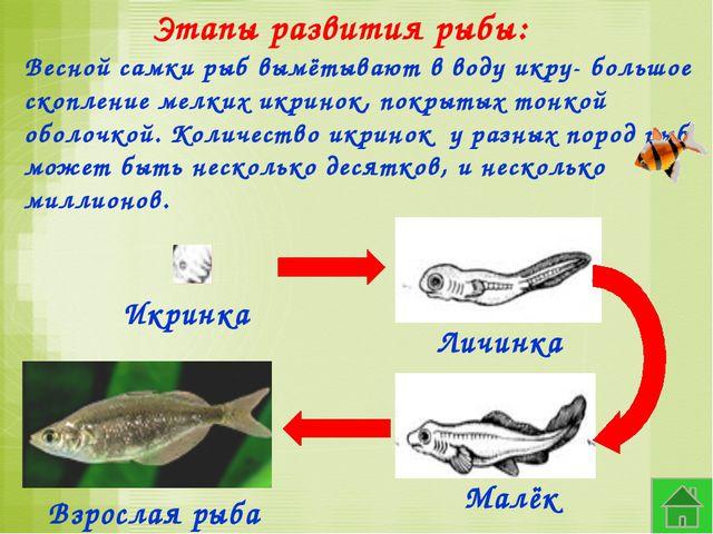 Этапы развития рыбы: Весной самки рыб вымётывают в воду икру- большое скоплен...