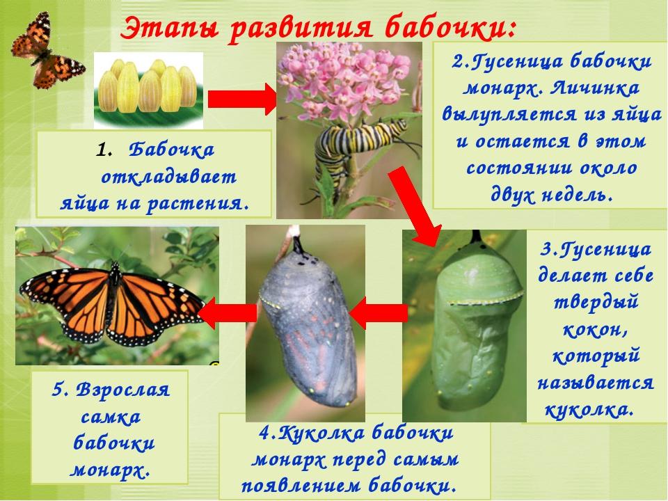 Этапы развития птиц: В гнёзда птицы откладывают яйца и насиживают их - согрев...