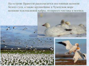 На острове Врангеля располагается постоянная колония белого гуся, а также кру