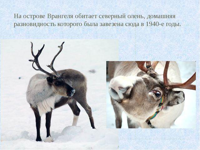 На острове Врангеля обитает северный олень, домашняя разновидность которого б...