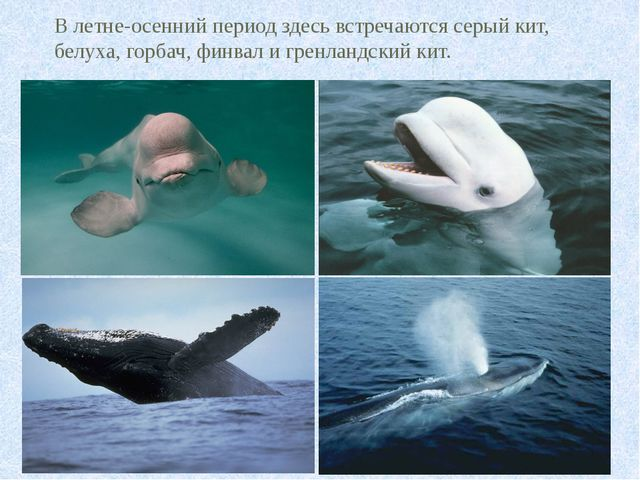 В летне-осенний период здесь встречаются серый кит, белуха, горбач, финвал и...