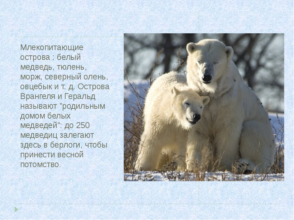 Млекопитающие острова : белый медведь, тюлень, морж, северный олень, овцебык...