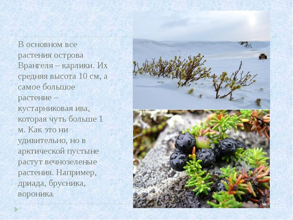 В основном все растения острова Врангеля – карлики. Их средняя высота 10 см,...