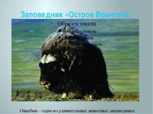 Заповедник «Остров Врангеля» Овцебык – одно из удивительных животных заповедн