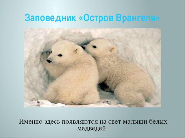 Заповедник «Остров Врангеля» Именно здесь появляются на свет малыши белых мед...
