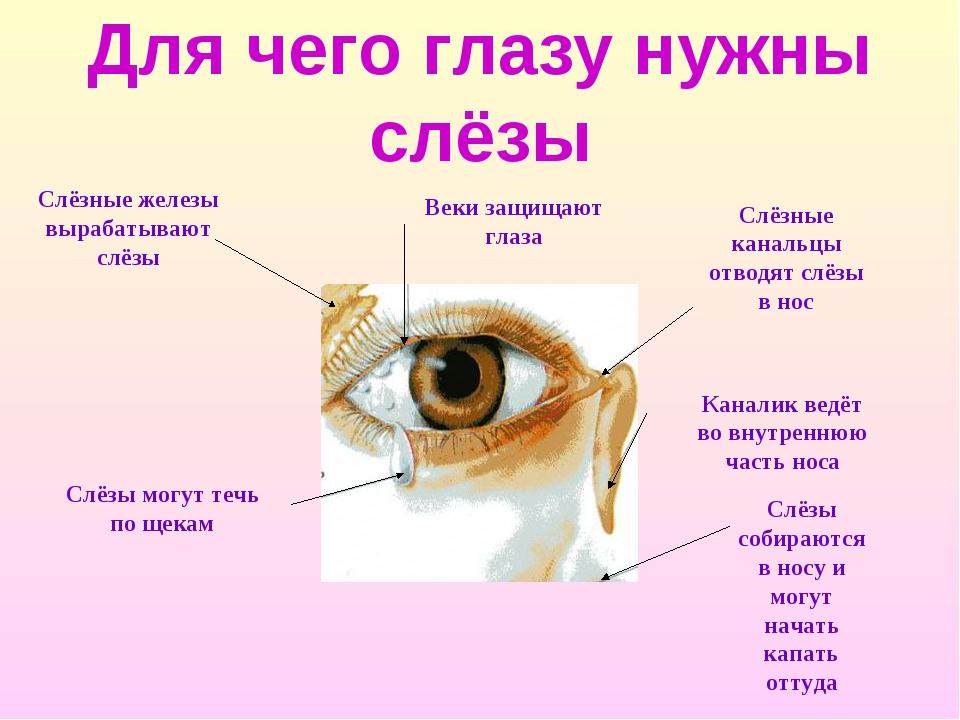 Для чего глазу нужны слёзы Слёзные железы вырабатывают слёзы Слёзы могут течь...