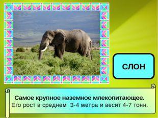Самое крупное наземное млекопитающее. Его рост в среднем 3-4 метра и весит 4-