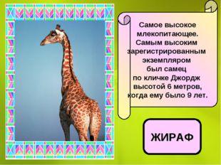 Самое высокое млекопитающее. Самым высоким зарегистрированным экземпляром был