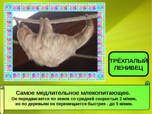 Самое медлительное млекопитающее. Он передвигается по земле со средней скорос