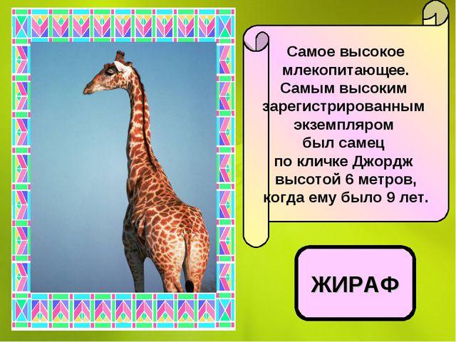 Самое высокое млекопитающее. Самым высоким зарегистрированным экземпляром был...