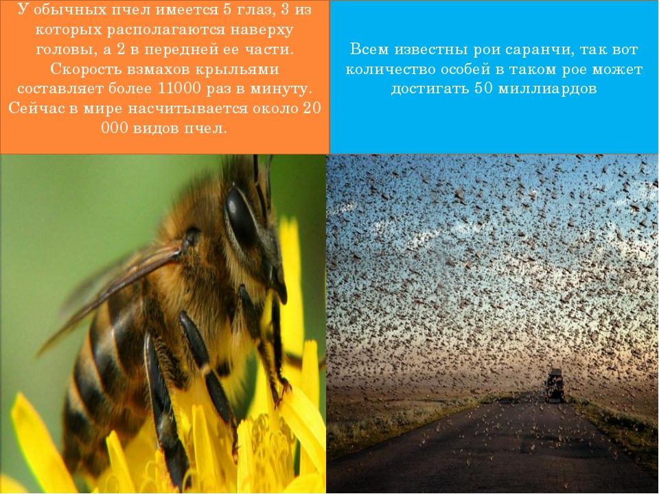 У обычных пчел имеется 5 глаз, 3 из которых располагаются наверху головы, а...