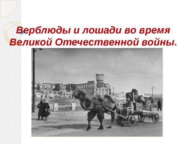 Верблюды и лошади во время Великой Отечественной войны.