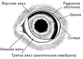 Допонительные органы глаза кошки