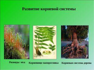 Ризоиды мха Корневище папоротника Корневая система дерева Развитие корневой с