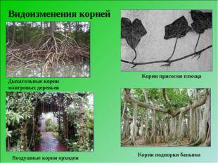 Видоизменения корней Корни подпорки баньяна Воздушные корни орхидеи Дыхательн