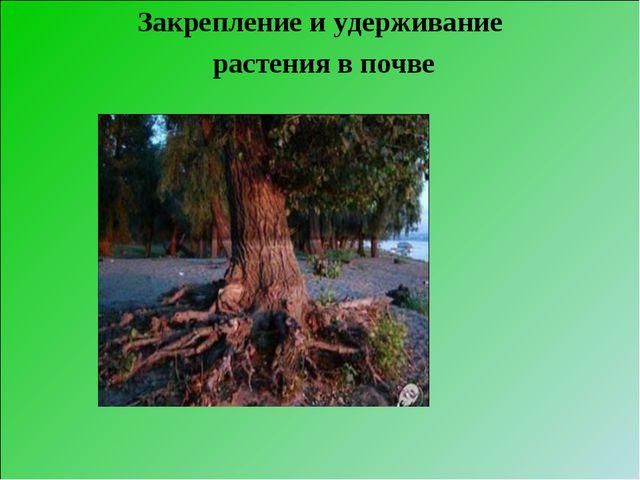 Закрепление и удерживание растения в почве