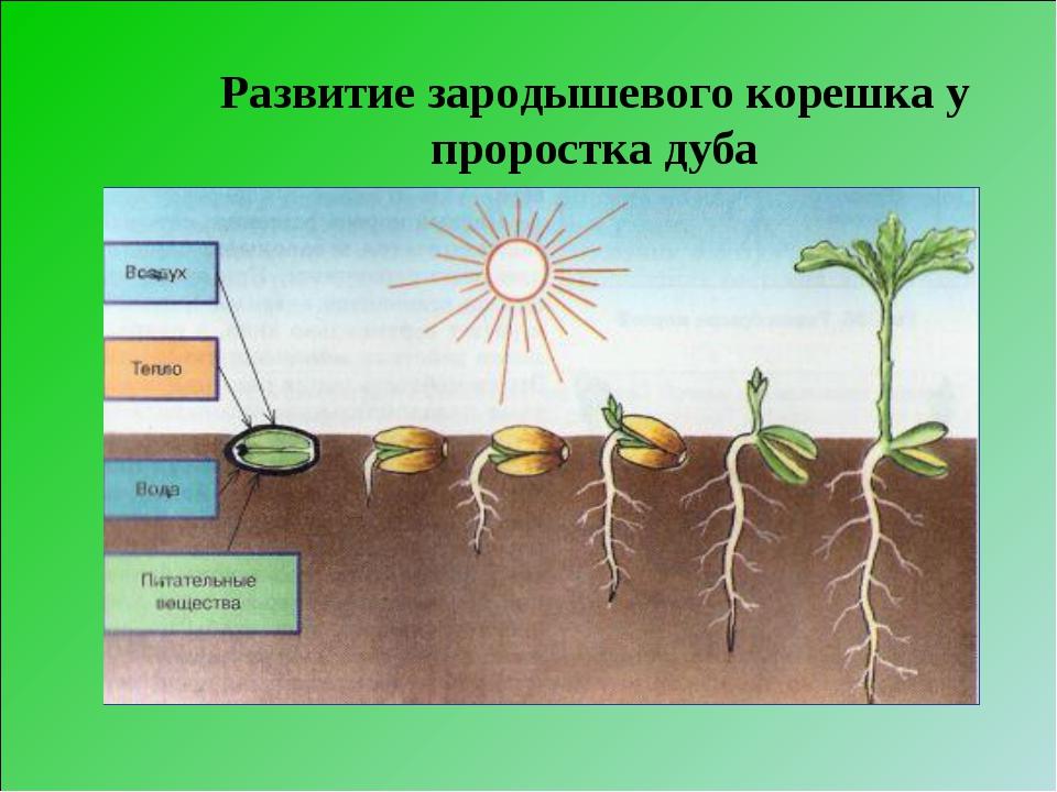 Развитие зародышевого корешка у проростка дуба